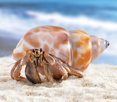 Hermit crabs rent their homes. Sort of.